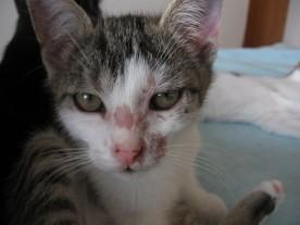 kotě - dermatofytóza
