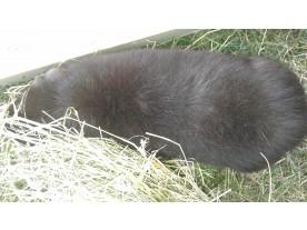 guinea pig - after Ecosin application