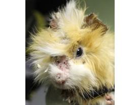 guinea pig - ringworm