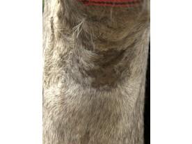 pony - kvasinková infekce